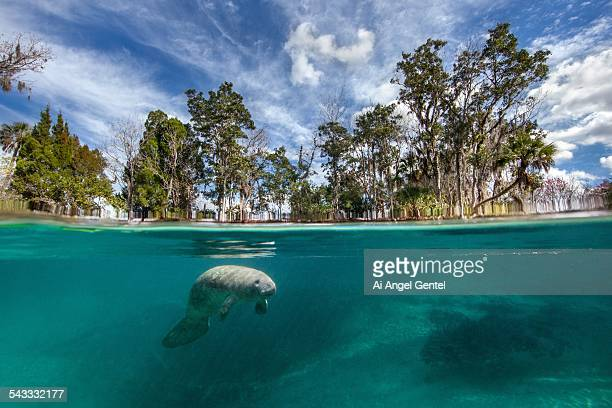 split image of baby florida manatee - florida manatee stock pictures, royalty-free photos & images