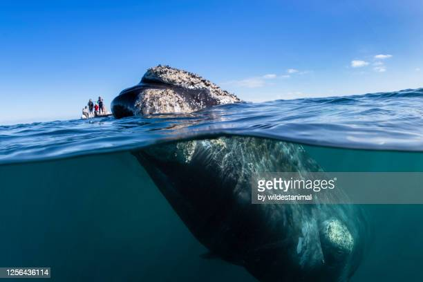 split level view of a curious southern right whale with a whale watching boat in the background, nuevo gulf, valdes peninsula, argentina, a unesco world heritage site.. - latin america stock pictures, royalty-free photos & images