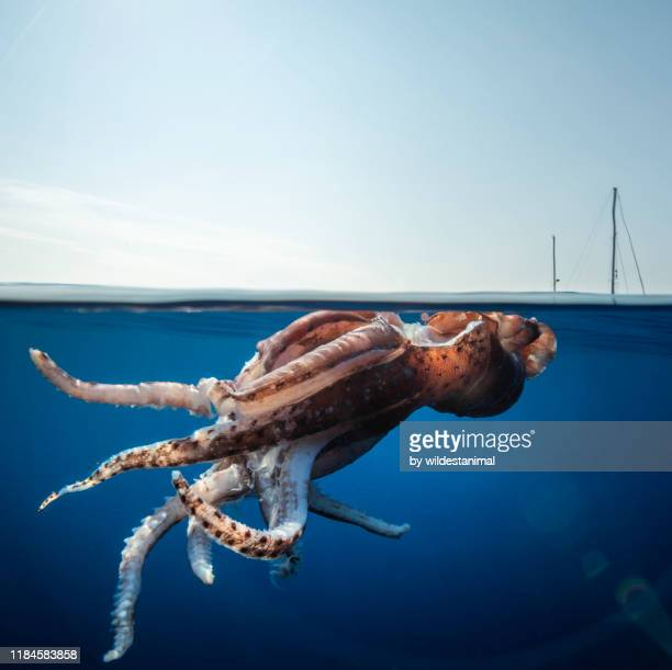 split level view of an injured giant squid floating at the surface with a research yacht in the background, ligurian sea, mediterranean, italy. - giant squid stock pictures, royalty-free photos & images
