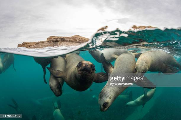 split shot of a very large number of south american sea lions swimming towards the camera at a colony in the nuevo gulf, valdes peninsula, argentina. - argentina stock pictures, royalty-free photos & images