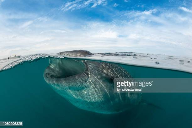 split shot of a whale shark feeding on copepods at the surface. - plankton stock pictures, royalty-free photos & images
