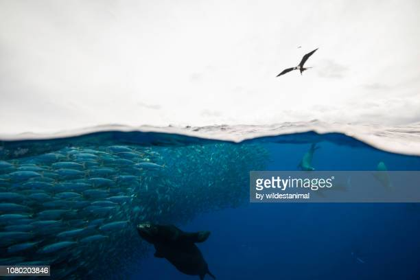 split shot of californian sea lions and striped marlins feeding on a large mackerel bait ball off the pacific coast of baja california sur, mexico. - baja california peninsula stock pictures, royalty-free photos & images