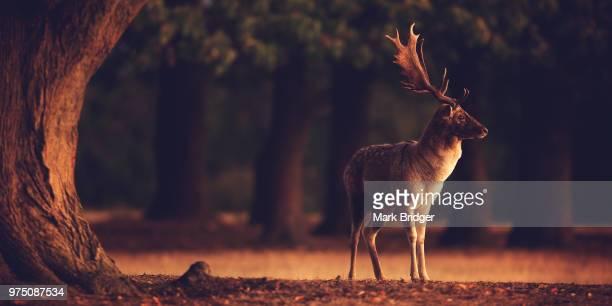 split toned buck - cervo maschio foto e immagini stock
