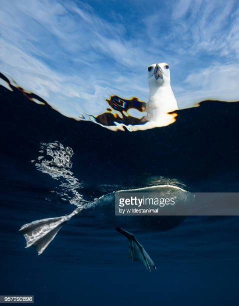Split view of a black browed albatross floating on the water's surface, New Zealand.