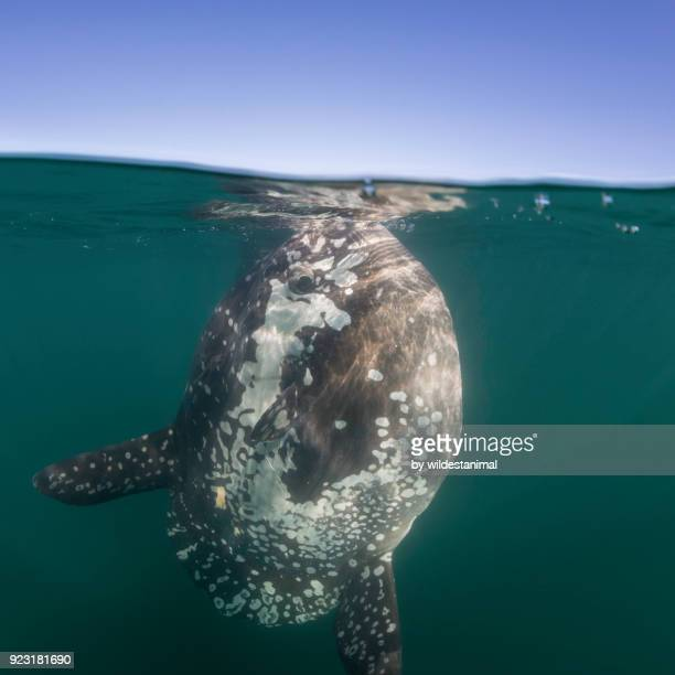 split view of an ocean sunfish feeding at the surface, just outside langebaan harbour, south africa. - freshwater sunfish stock photos and pictures