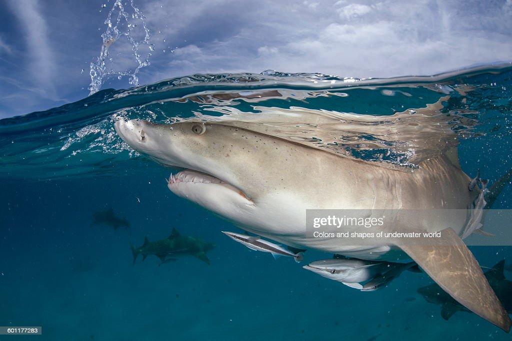 Split view of Caribbean reef shark : Stock Photo