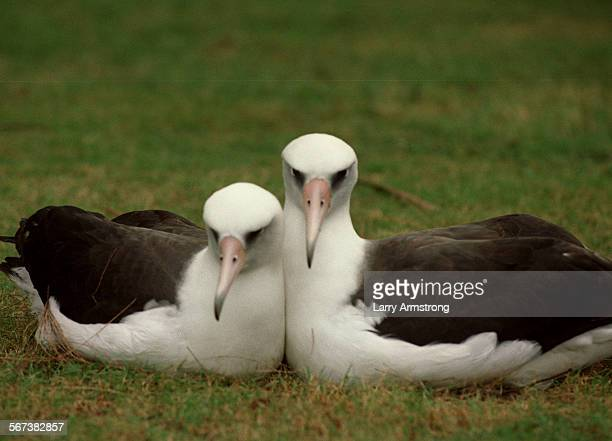 SPmidway#41204LA/G A nesting pair of Laysan Albatross popularly know as 'Gooney Birds' on Midway Atoll Sports server