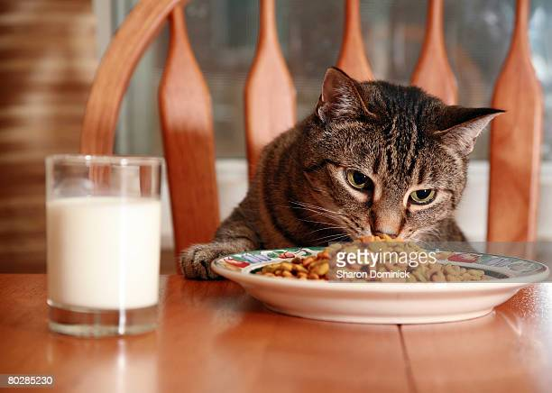A spoiled cat eating from a dish at a diningroom table.