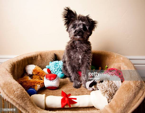 spoiled yorkiepoo puppy sitting in bed of toys - toy stock pictures, royalty-free photos & images
