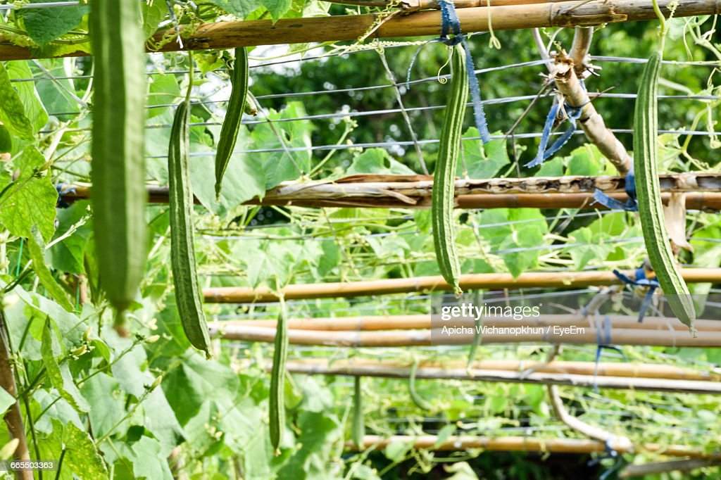 Sponge Gourds Hanging From Wood : Stock Photo