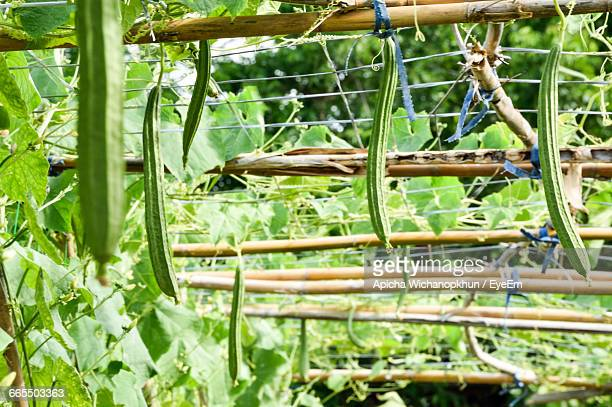 sponge gourds hanging from wood - loofah stock photos and pictures