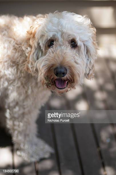 Spoodle dog