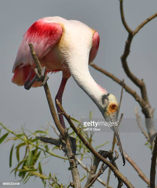 spoonbill encounter - rookery stock pictures, royalty-free photos & images