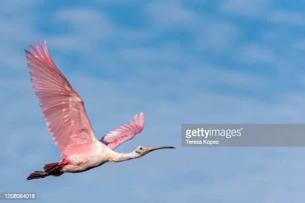 spoonbill in flight - pájaro tropical fotografías e imágenes de stock