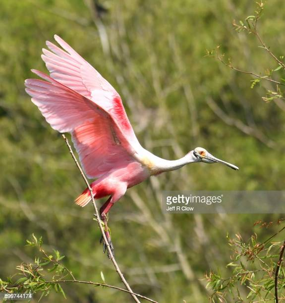 Spoonbill in Texas in Flight
