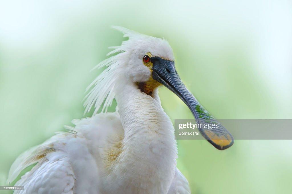 Spoonbill : Stock-Foto