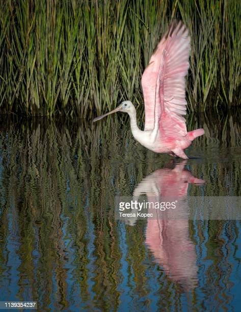 spoonbill reflection - tropical bird stock pictures, royalty-free photos & images