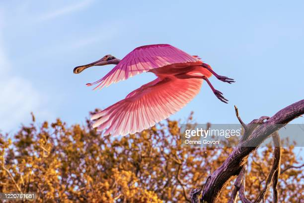 spoonbill takeoff - rookery stock pictures, royalty-free photos & images