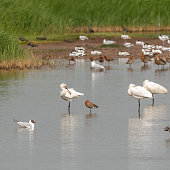 spoonbills godwits pied avocets lapwings gulls