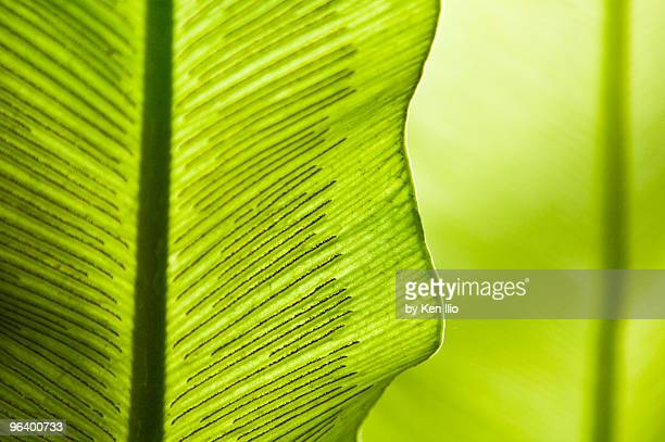 spores of a fern - ken ilio stock photos and pictures