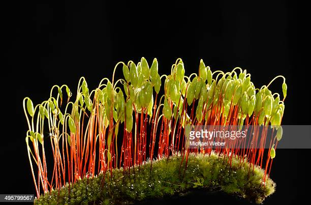 Sporophytes of Creeping feather-moss -Amblystegium serpens-, Stuttgart, Baden-Wurttemberg, Germany