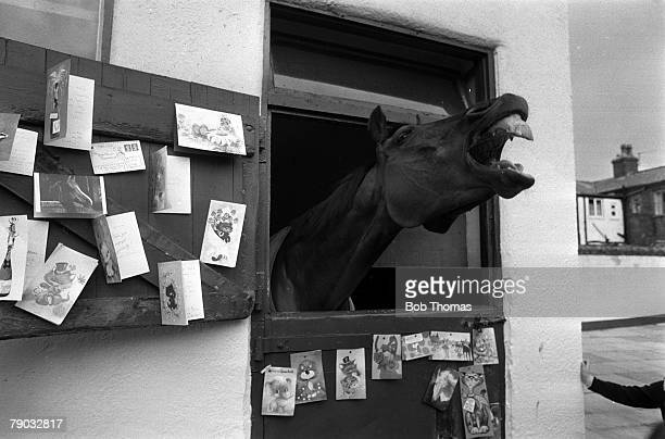 Sport Horse Racing The Grand National Southport England 3rd April 1977 The legendary horse Red Rum is pictured at his stable after winning the Grand...