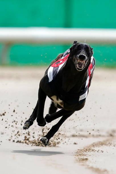 GBR: Nottingham Greyhound Racing