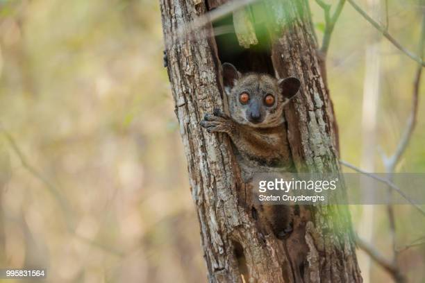 sportive lemur - bush baby stock photos and pictures