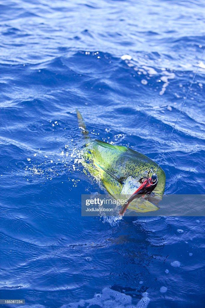 Sports: Dorado Fish on the line : Stock Photo