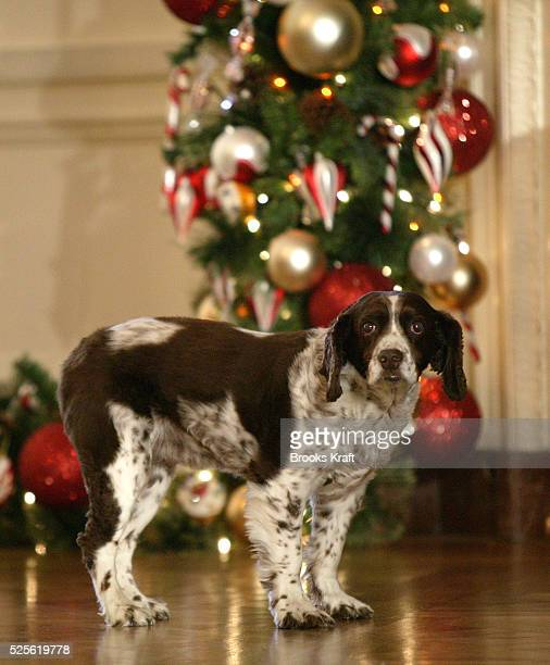 Spot the Bushes' dog stands nearby as United States First Lady Laura Bush talks to the press during a preview of the holiday decorations at the White...