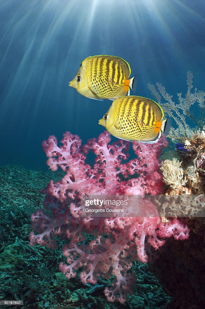 Spot-banded butterflyfish : Stock Photo
