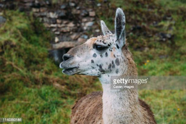 spoted llama in old ruins - llama stock pictures, royalty-free photos & images