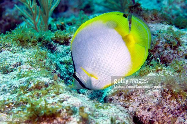 A Spotfin Butterflyfish feeding off the coral reef, Key Largo, Florida.