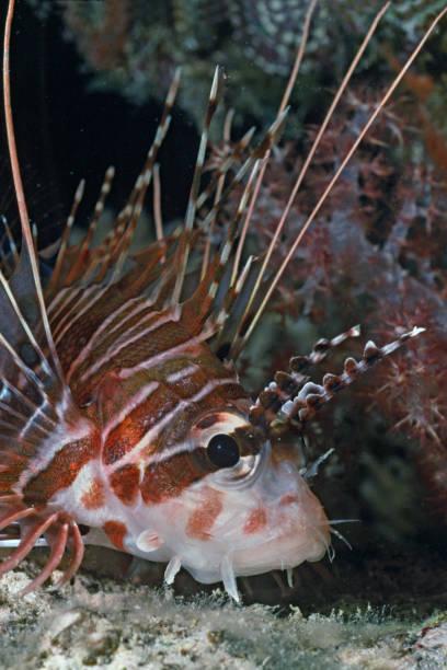 Spotfin Lionfish close-up