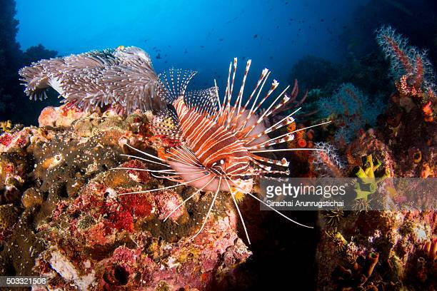 spotfin lionfish (pterois antennata) in a colourful reef - indo pacific ocean stock pictures, royalty-free photos & images
