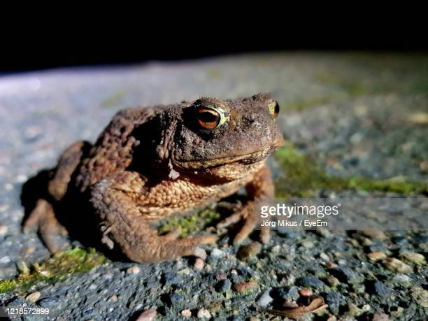 spotlight, bufo bufo durch die nacht - nacht stock pictures, royalty-free photos & images