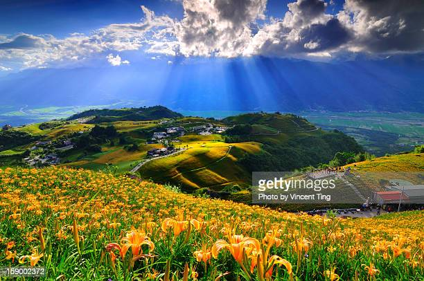 spotlight on sea of flowers - hualien county stock pictures, royalty-free photos & images