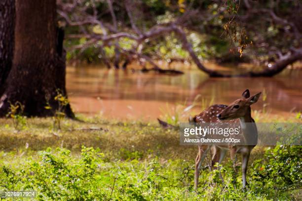 Spotted Chital Deer
