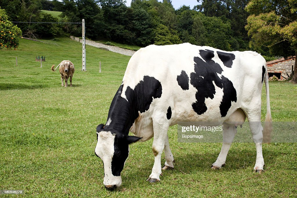 Spotted cow grazing : Stock Photo