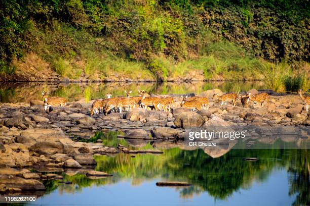 spotted dear or chital in panna national park, india. - bandhavgarh national park stock pictures, royalty-free photos & images