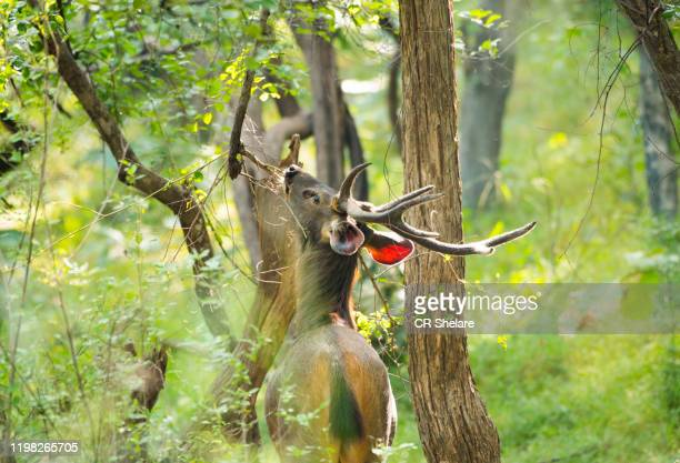 spotted dear or chital in panna national park, india. - national park stock pictures, royalty-free photos & images