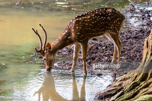 Spotted deer (Axis axis) 1