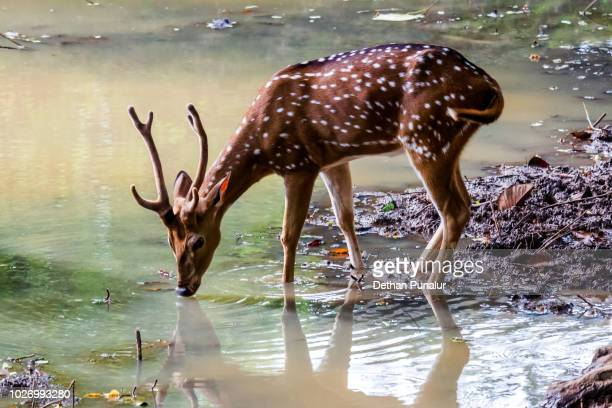 Spotted deer (Axis axis) 2