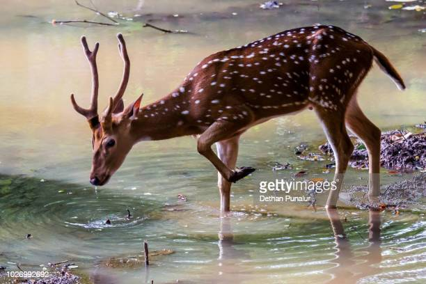 Spotted deer (Axis axis) 3