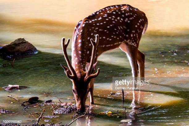 Spotted deer (Axis axis) 4