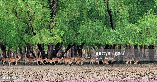 SUNDARBANS SATHKHIRA KHULNA BANGLADESH Spotted deer at the Sundarbans a UNESCO World Heritage Site and a wildlife sanctuary The largest littoral...