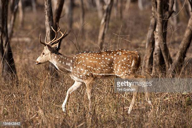 Spotted deer Axis axis in Ranthambhore National Park Rajasthan Northern India