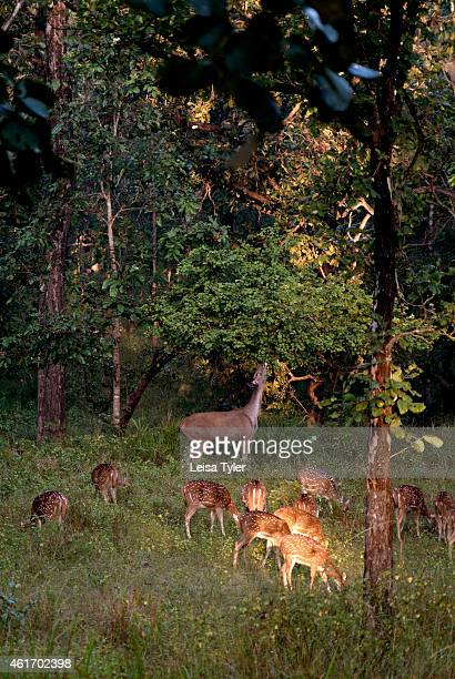 Spotted deer in Bandhavgarh National Park the former home of the Royal family of Rawa and now a tiger sanctuary with the highest concentrations of...