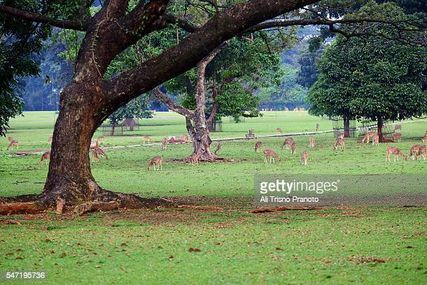 spotted deer in bogor president palace and botanical garden area - bogor stock pictures, royalty-free photos & images
