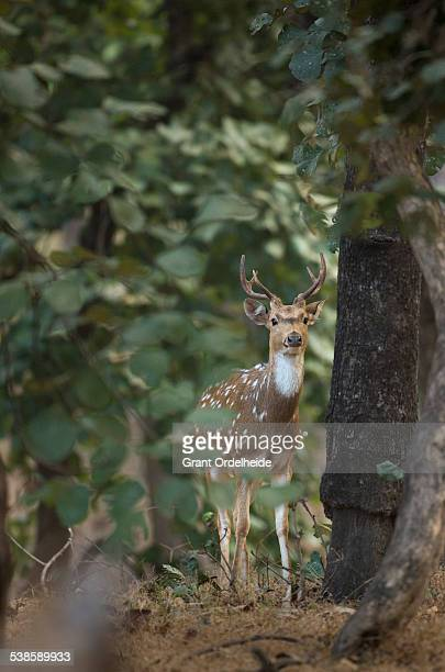 a spotted deer (axis axis) in indias bandhavgarh national park. - madhya pradesh stock pictures, royalty-free photos & images